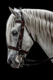 Andalusian horse Stock Photos