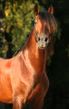 Andalusian horse. Chestnut stallion Andalusia breed of horses royalty free stock images