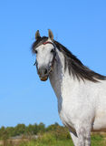 Andalusian horse Royalty Free Stock Photos