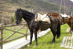 Andalusian horse. A pair of horses tied to a wooden fence in the Cantabrian country, Spain Royalty Free Stock Images