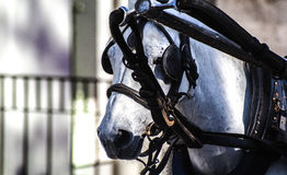 White horse. A white Andalusian horse with blinkers and reins pulling a cart Stock Image