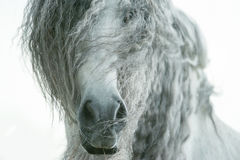 Andalusian horse face closeup with long curvy forelock and mane Royalty Free Stock Photos
