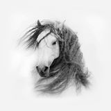 Andalusian horse with long mane isolated on white Royalty Free Stock Photography