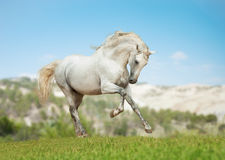 Andalusian horse on meadeterenian hills Royalty Free Stock Photo