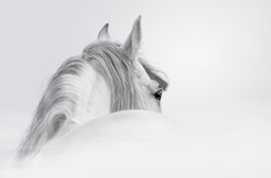 Andalusian horse in a mist. Gray Andalusian horse in a mist Stock Photo