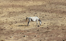 Andalusian horse on pasture Royalty Free Stock Photos