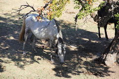 Andalusian horse on pasture Stock Images