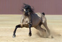 Andalusian horse playing on sand. Royalty Free Stock Image