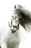 Andalusian horse portrait in action wearing the authentic spanis Stock Images