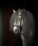Andalusian horse Stock Photos