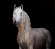 Andalusian horse portrait Royalty Free Stock Image