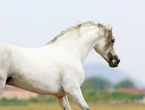 Andalusian horse - the purest line of pura raza espanola Stock Images