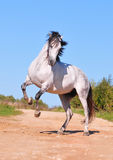 Andalusian horse rearing Stock Images