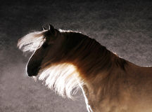 Andalusian horse silhouette against the studio light Stock Image
