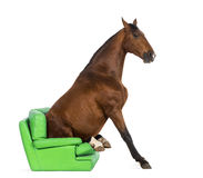 Andalusian horse sitting on an armchair Stock Images