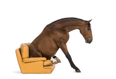 Andalusian horse sitting on an armchair Royalty Free Stock Image