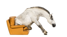 Andalusian horse sitting on an armchair Stock Image