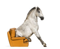 Andalusian horse sitting on an armchair Stock Photos