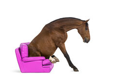 Andalusian horse sitting on an armchair Royalty Free Stock Photos