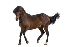 Andalusian horse trotting Stock Photography