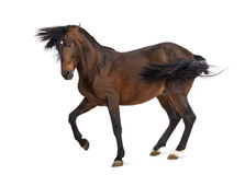 Andalusian horse trotting Royalty Free Stock Photography