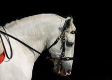 Andalusian horse at work. A portrait of an grey spanish Andalusian horse at work Stock Photography