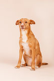 Andalusian hound Royalty Free Stock Photos