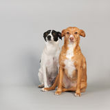 Andalusian hound. Spanish Podenco Andaluz on beige background Stock Photo