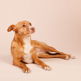 Andalusian hound Stock Images