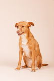 Andalusian hound Stock Photography
