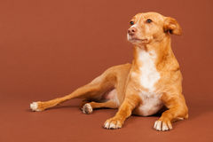 Andalusian hound Stock Photos
