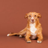 Andalusian hound. Spanish Podenco Andaluz on brown background Stock Photography
