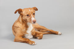 Andalusian hound Royalty Free Stock Photography