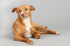 Andalusian hound Royalty Free Stock Images