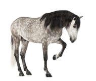 Andalusian lyfta beklär lägger benen på ryggen, 7 gammala år, också bekant som den rena spanska hästen eller PRE Fotografering för Bildbyråer