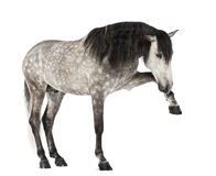 Andalusian lyfta beklär lägger benen på ryggen, 7 gammala år, också bekant som den rena spanska hästen eller PRE Royaltyfri Fotografi