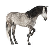 Andalusian lyfta beklär lägger benen på ryggen, 7 gammala år, också bekant som den rena spanska hästen eller PRE Royaltyfria Foton