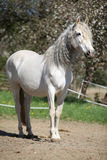 Andalusian mare with long hair in spring Royalty Free Stock Images