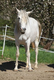 Andalusian mare with long hair in spring Royalty Free Stock Image