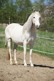 Andalusian mare with long hair in spring Stock Photography