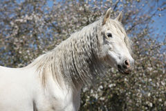 Andalusian mare with long hair in spring Royalty Free Stock Photo