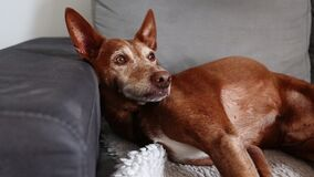 Andalusian Podenco breed Dog laying on a grey sofa