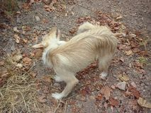 Andalusian race dog. Podenco andaluz a native race in the variety ofrece long hair Stock Photo