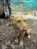 Andalusian race dog. Podenco andaluz nativo race ofrece dog Royalty Free Stock Photography
