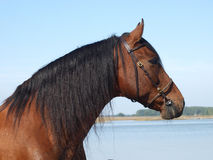 Andalusian Spanish Horse Head Shot Stock Images