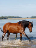 Andalusian Spanish Horse Splashing Royalty Free Stock Images