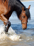 Andalusian Spanish Horse Splashing Royalty Free Stock Image