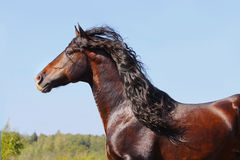 Andalusian stallion. Beautiful andalusian stallion in motion Royalty Free Stock Photography