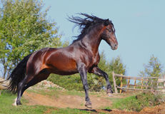 Andalusian stallion. Beautifull bay andalusian stallion running Royalty Free Stock Image