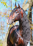 Andalusian stallion Stock Images